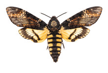 Death's Head Hawk-moth Isolate...