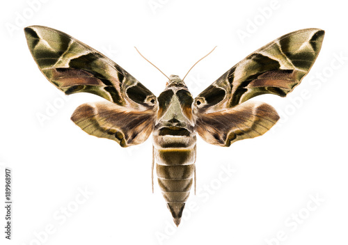 Oleander hawk-moth isolated on white
