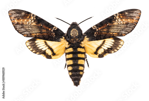 Death's head hawk-moth isolated on white