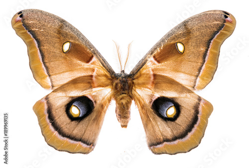 Antheraea polyphemus moth isolated on white