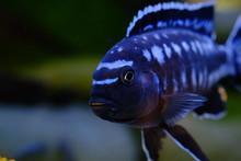 African Cichlid Fish Colorful Aquarium