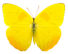 Orange-barred Sulphur (Phoebis...