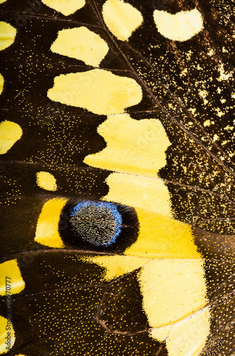 Citrus swallowtail (Papilio demodocus) butterfly background
