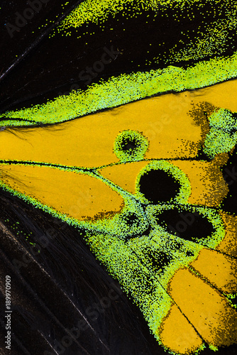 Rothschild's birdwing wing macro