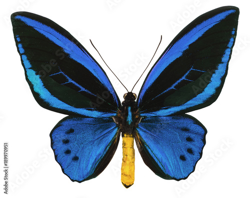 Photo Ornithoptera urvillianus tropical butterfly isolated