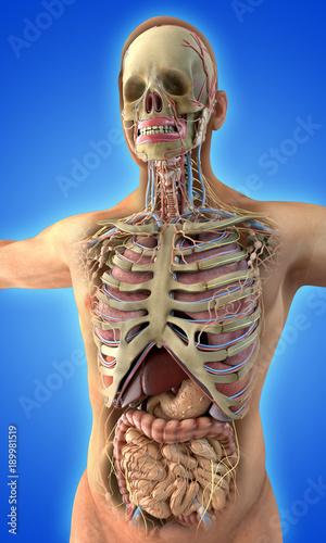 Valokuva  Human internal organs and skeleton on blue background
