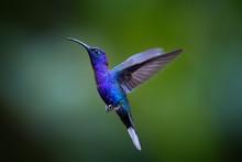 Close Up Blue Hummingbird, Cam...