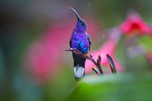 Glittering Blue, Hummingbird, Campylopterus Hemileucurus, Violet Sabrewing Perched On Red Flower Against Abstract, Colorful, Pink And Green Tropical Background.  Rain Tracks, La Paz. Costa Rica.