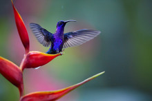 Glittering Blue Hummingbird, Campylopterus Hemileucurus, Violet Sabrewing Perched On Red Heliconia Flower With Outstretched Wings Against Abstract, Colorful Tropical Background. La Paz. Costa Rica.