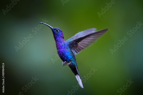 Photographie Close up blue hummingbird, Campylopterus hemileucurus, glittering Violet Sabrewing hovering in the air against abstract, colorful, dark green tropical background