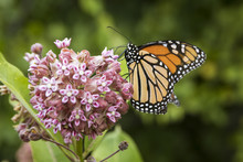Monarch Butterfly Feeding On A...