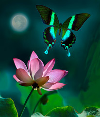Obraz na SzkleGreen peacock butterfly or swallowtail flying over a pink lotus in foreground in moonlight at night with the full moon in the background.