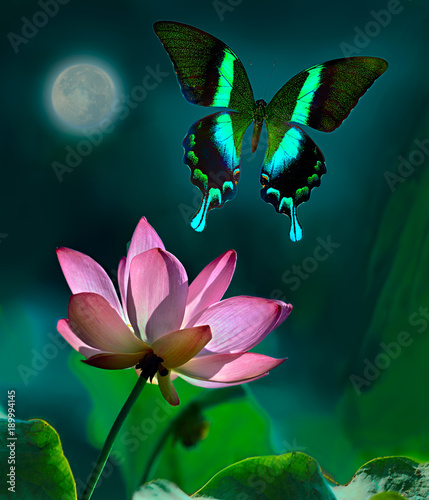 Fotografie, Obraz  Green peacock butterfly or swallowtail flying over a pink lotus in foreground in moonlight at night with the full moon in the background