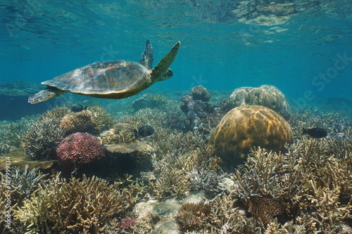Beautiful coral reef with a green sea turtle underwater, south Pacific ocean, New Caledonia