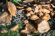 Pilzkolonie im Buchenwald (Stockschwämmchen und Schichtpilz)