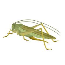 Grasshopper  Green  Vector Ill...