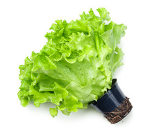 Lettuce Salad In Pot Isolated ...