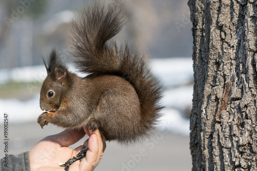 Tuinposter Eekhoorn A human feeding a squirrel in a park during winter