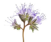 Lacy Phacelia ( Phacelia Tanac...