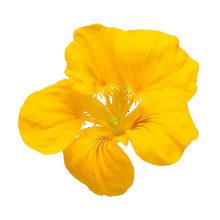 Yellow Nasturtium Flower Macro...