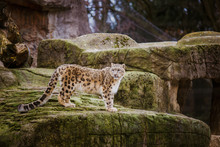 An Adult Snow Leopard Stands O...