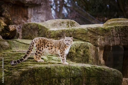 An adult snow leopard stands on a stony ledge in the Basel Zoo in Switzerland. Cloudy weather in winter
