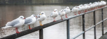 Black-headed Gull (Chroicocephalus Ridibundus) With Red Bill And Legs In A Row On A Railing, One With Yellow Beak And Legs, Concept Metaphor For Team And Diversity, Panoramic Banner, Selected Focus