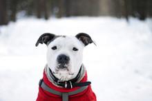 Cute White Dog American Staffo...