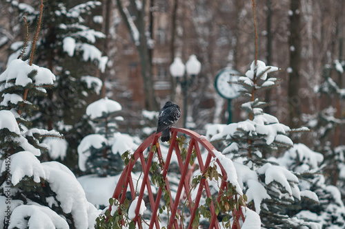 Fototapety, obrazy: Winter snowy landscape. A lone dove on the fence in the park. The branches of the trees are covered with snow.