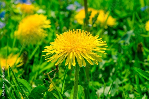 Tuinposter Paardebloem Blossoming dandelion close-up - macro