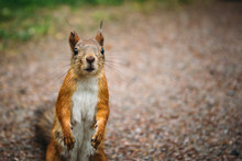 Funny Cute Squirrel Looks At C...
