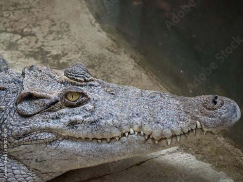 Foto op Plexiglas Krokodil Crocodile saltwater Thailand