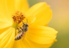 Honeybee (Apis Mellifera) Poll...