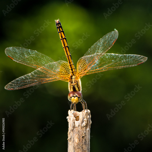 orange Dragonfly macro shot showing details of face, eyes and wings