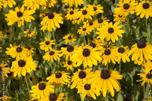 Tablou Canvas Black-eyed Susan Garden