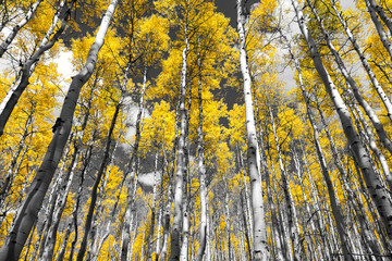 FototapetaGolden yellow forest of fall aspen trees in a black and white Colorado Rocky Mountain landscape