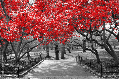 Fototapeta Canopy of red trees in surreal black and white landscape scene in Central Park, New York City obraz