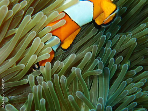 Fotografie, Obraz  Nemo fishes with sea anemone under the sea