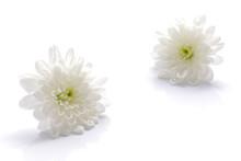 Japanese White Chrysanthemum F...