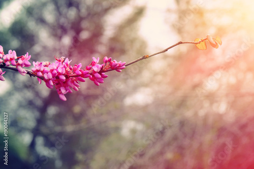Poster Waterlelies background of spring pink cherry blossoms tree. selective focus.