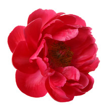 Red Peony Flower Isolated On W...