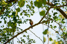 The Small Minivet Is A Small P...