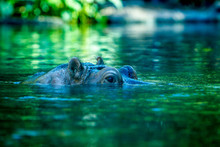 Hippopotamus Surfacing Above W...
