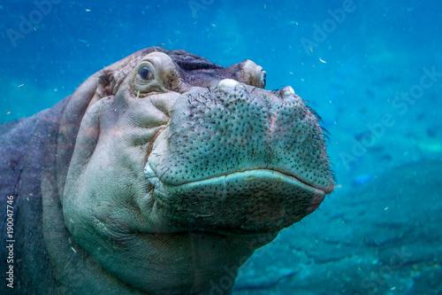 Fotografia, Obraz Hippopotumas Swimming under water