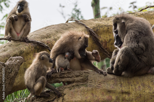 Drill family of baboons mandrel preening another, Dril Mandrillus leucophaeus Cercopithecidae