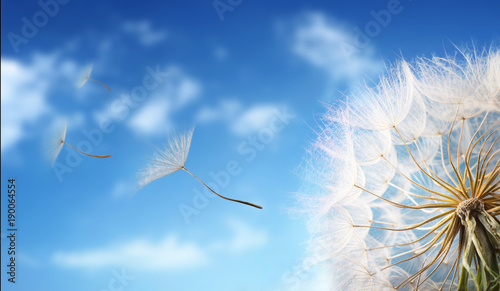 Poster Printemps Flying Dandelion seeds in the morning sunlight blowing away in the wind across a blue sky.