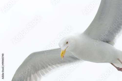 Vászonkép  Kittiwake flying against white sky close up.