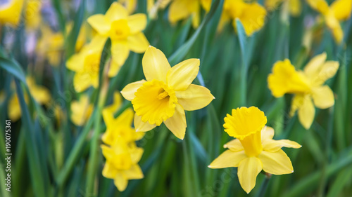 Deurstickers Narcis Amazing Yellow Daffodils flower field in the morning sunlight. The perfect image for spring background, flower landscape.