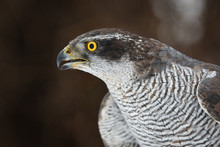 Northern Goshawk (Accipiter Ge...