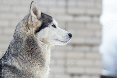 Staande foto Ijsbeer winter portrait of a cute blue-eyed husky dog against a snowy nature background